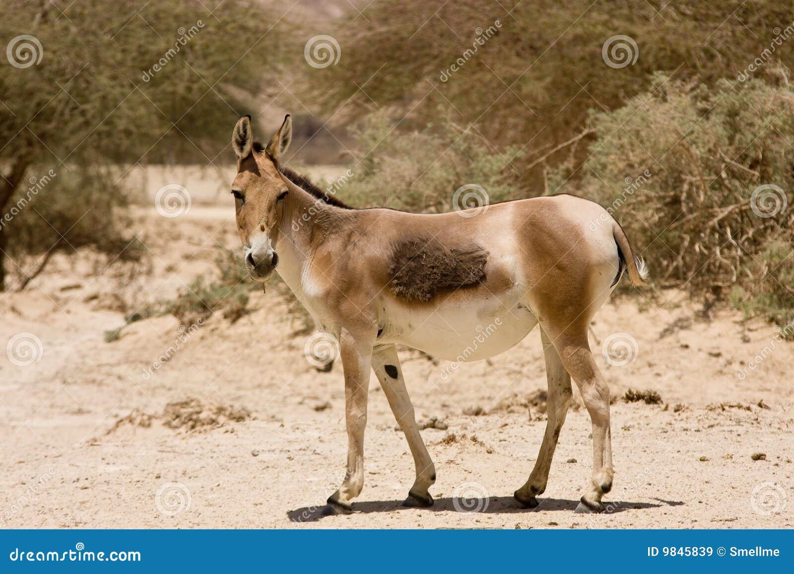 Asiatischer wilder Esel