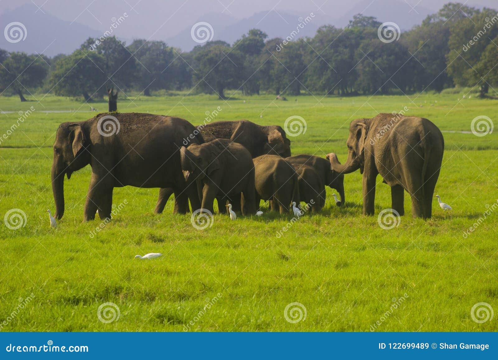 Asiatisches wildes minneriya Eliphant - Sri Lankas Nationalpark