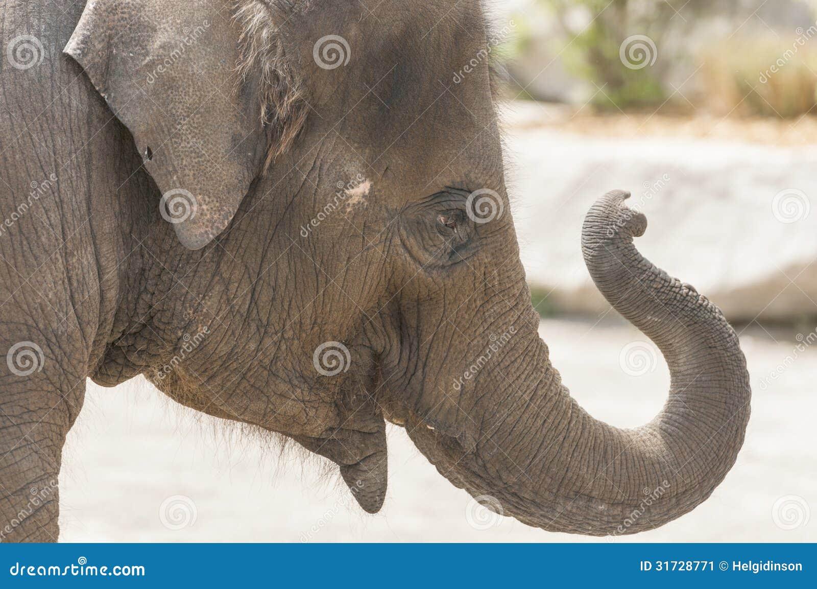 Asiatisk elefant