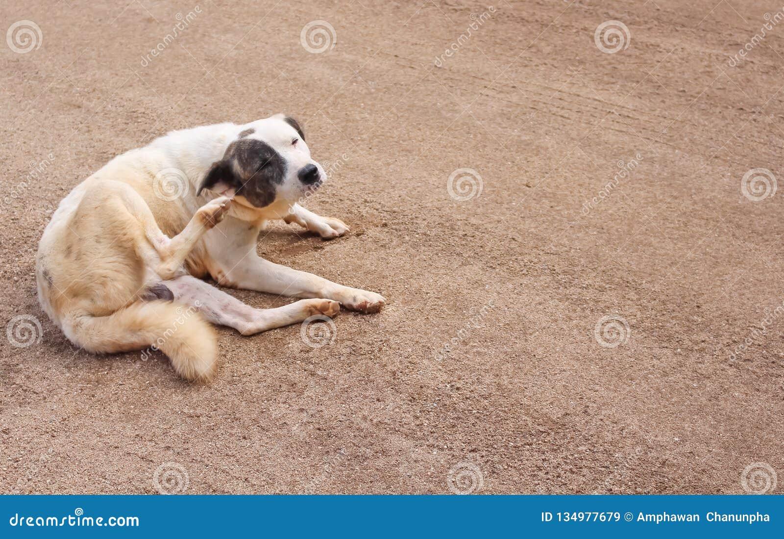 Asiatisk hund som sitter och skrapar hans öra på sandgolvbakgrund