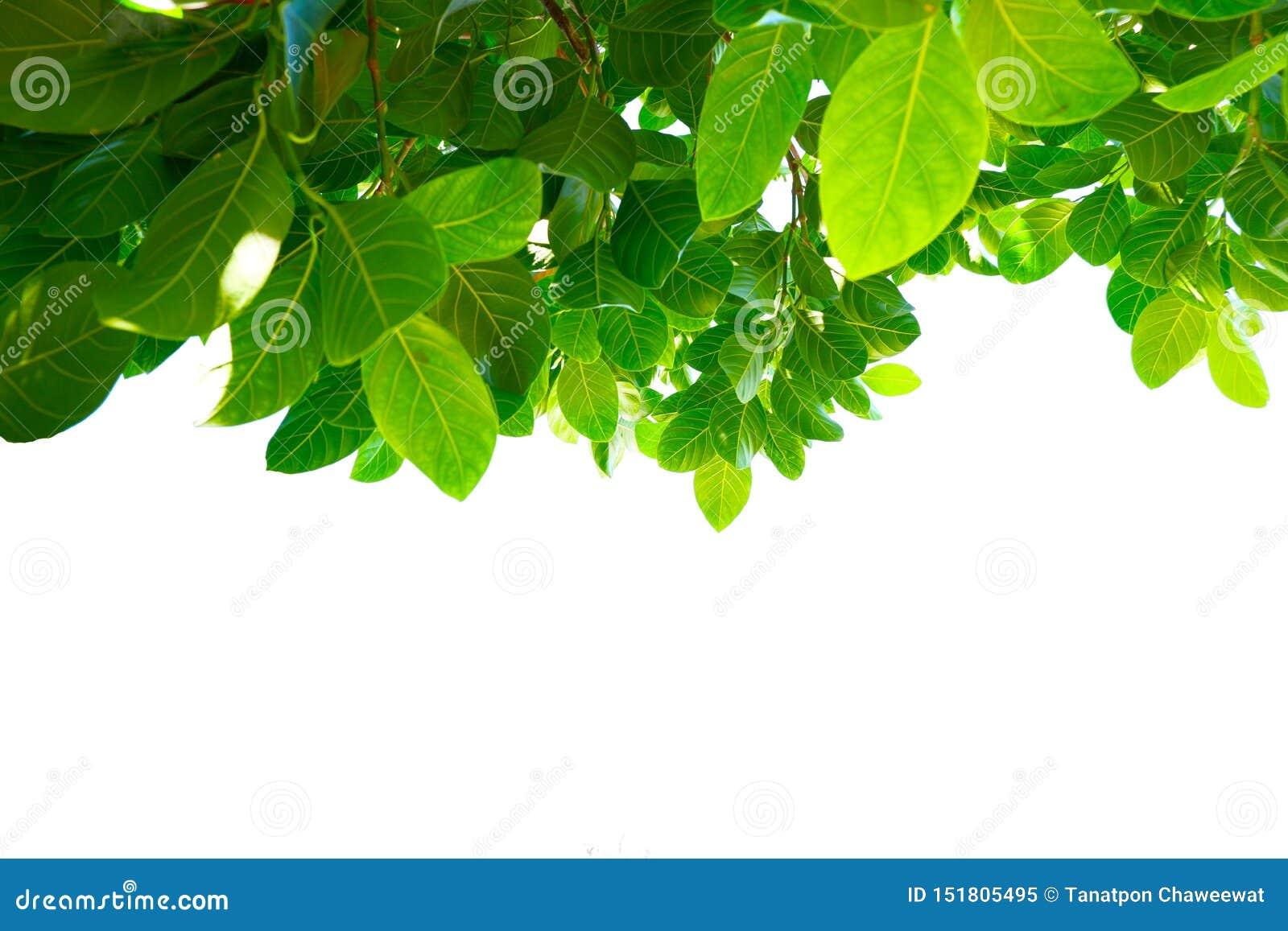 Asiatiska tropiska gröna sidor som isolerade på en vit bakgrund