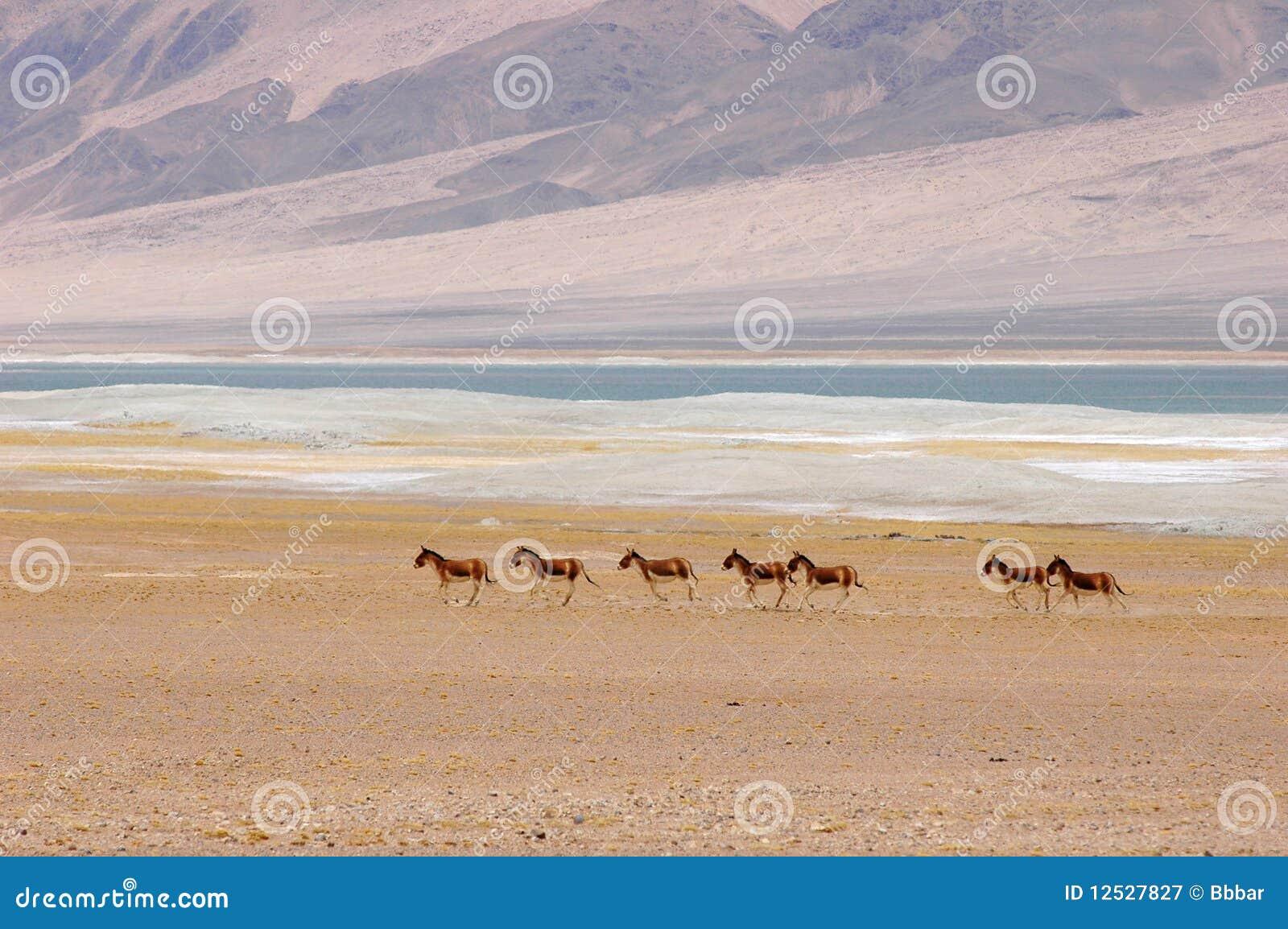 Asini selvaggi nel Tibet