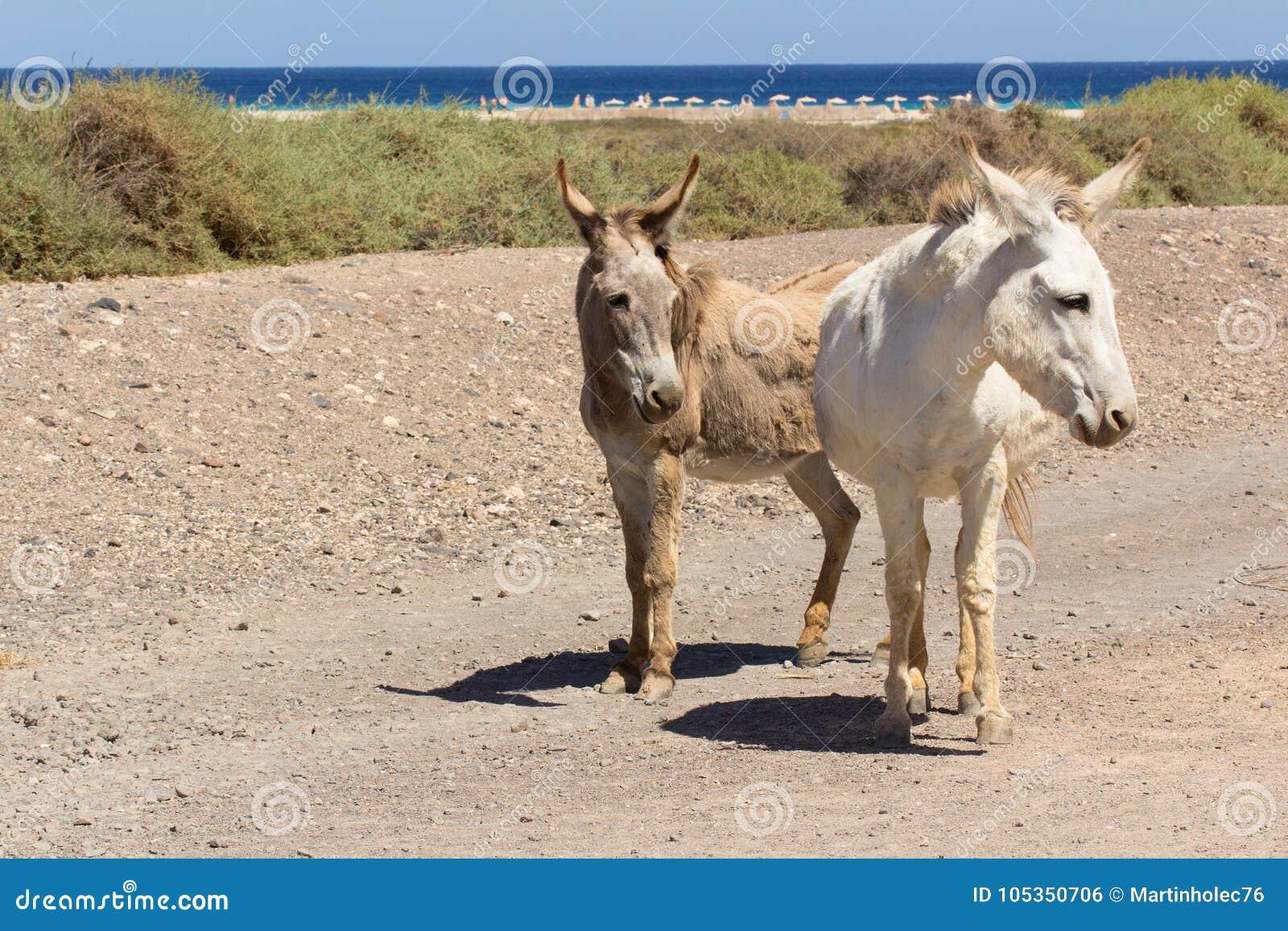 Asini vicino alla spiaggia in Morro Jable, isole Canarie di Fuerteventura