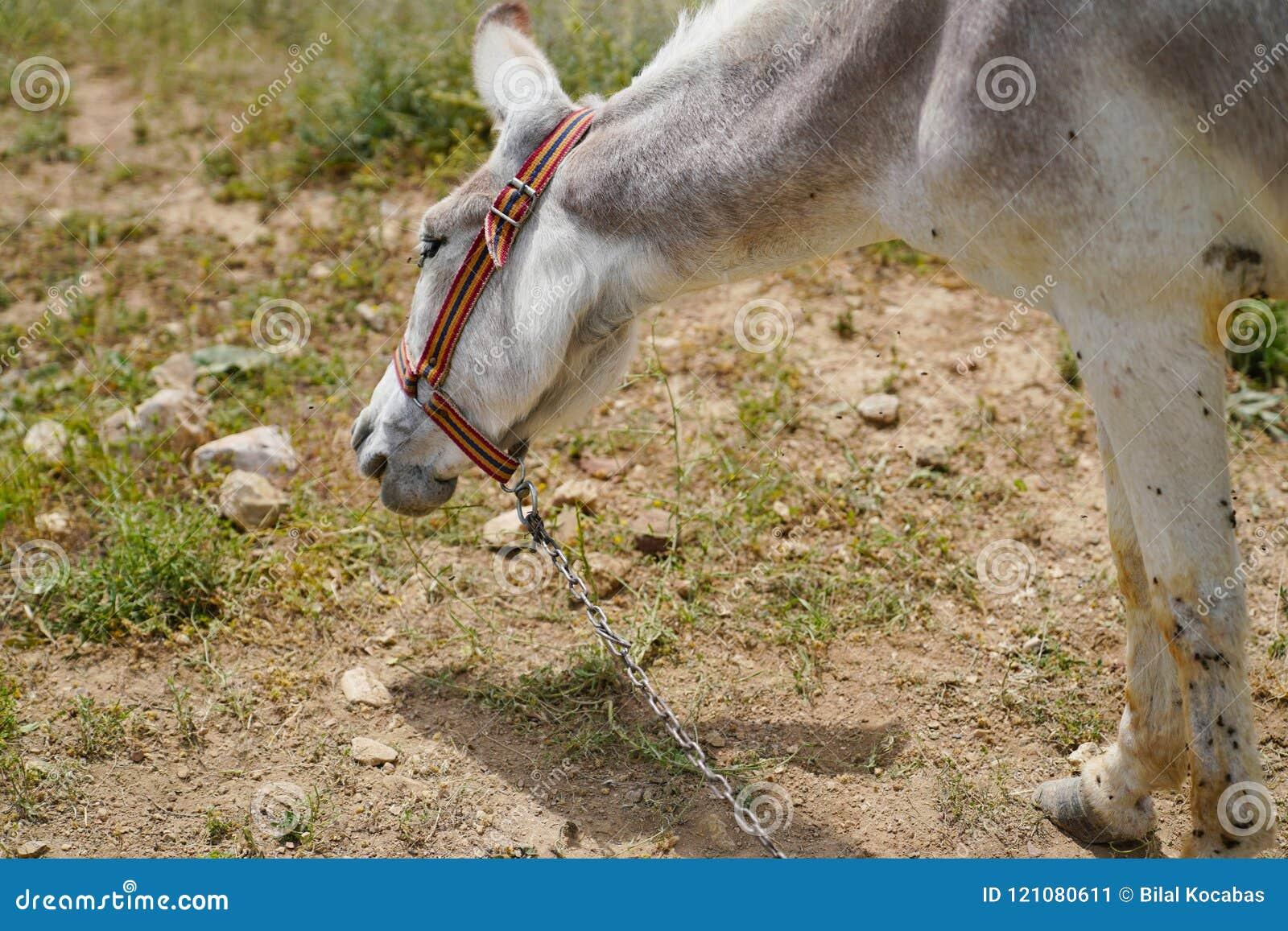 Asinus blanco obstinado del burro en latín
