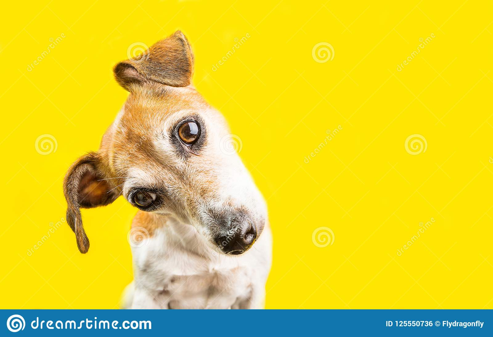 Asking surprised curious lovely dog Jack Russell terrier portrait on yellow background. Bright emotions