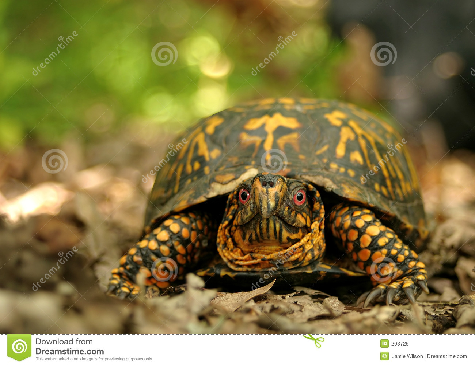 Asksköldpadda