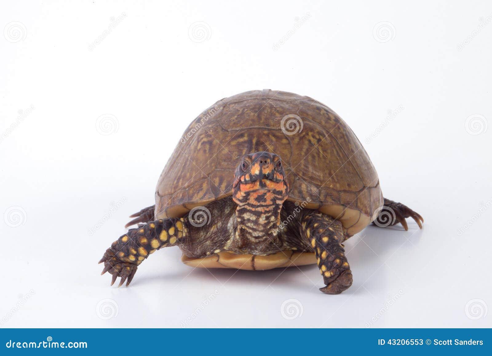 Download Asksköldpadda fotografering för bildbyråer. Bild av vitt - 43206553