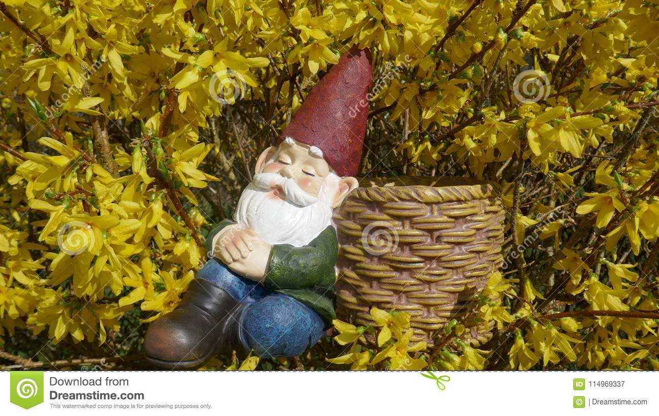 Asleep Garden Gnome Sits In A Yellow Blooming Forsythia Bush And ...