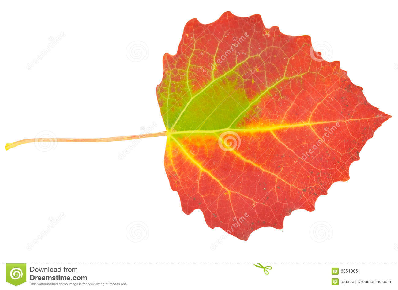 Asp- leaf