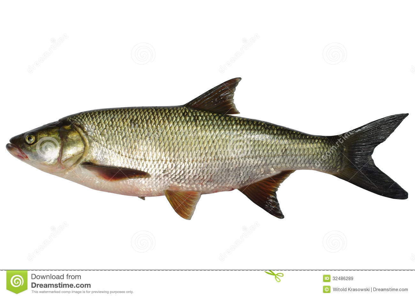 Asp predatory fish royalty free stock images image 32486289 for Predatory freshwater fish