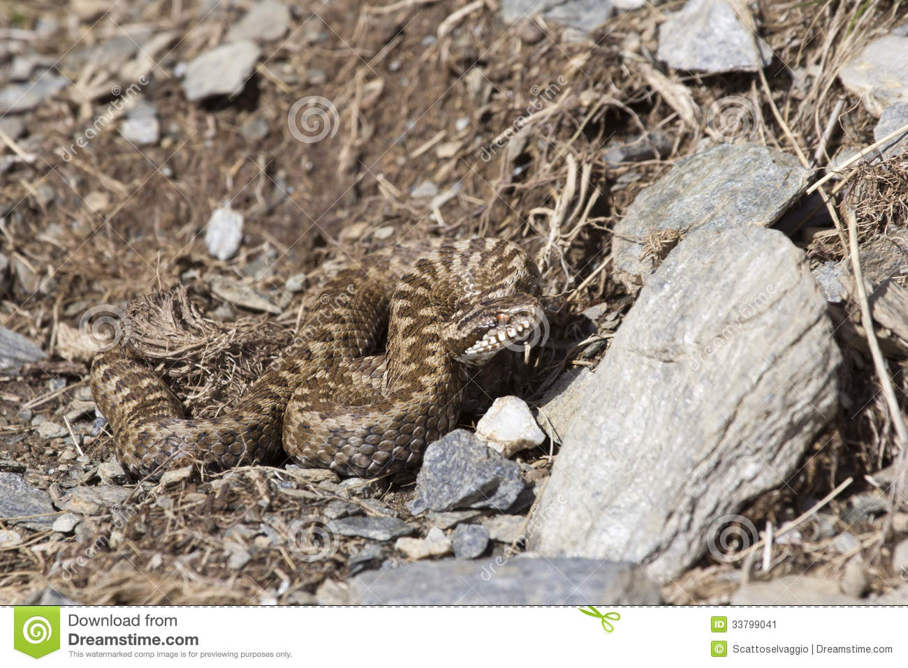 Asp viper in its natural environment. European Asp viper (Vipera aspis), italian Alps.
