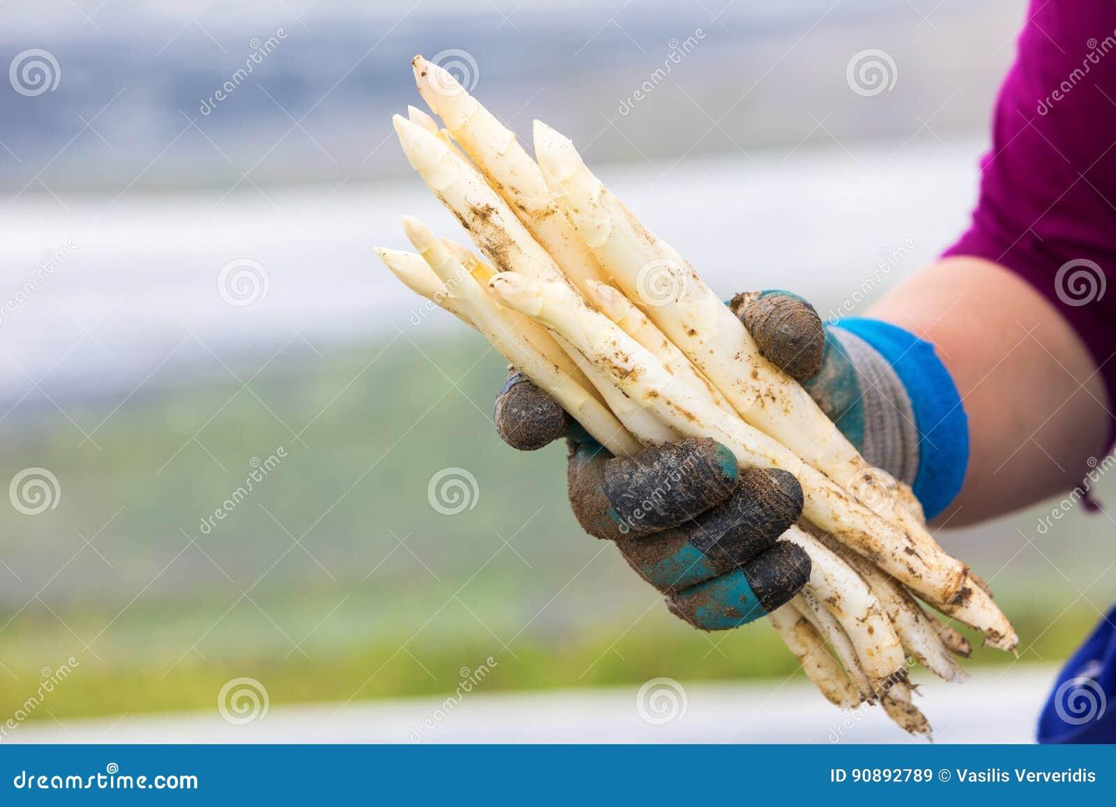 Asparago bianco del raccolto dal campo