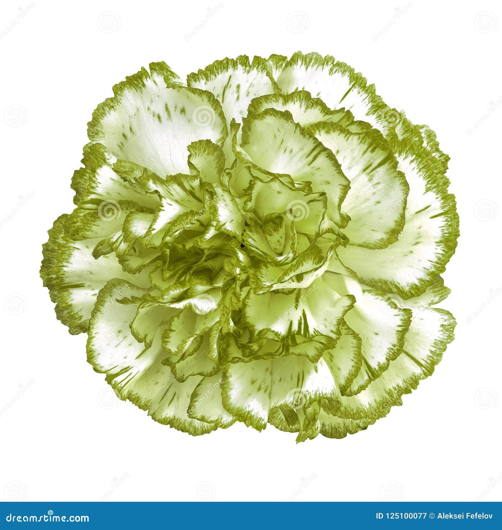 Asparagus Green White Carnation Flower Isolated On White Background