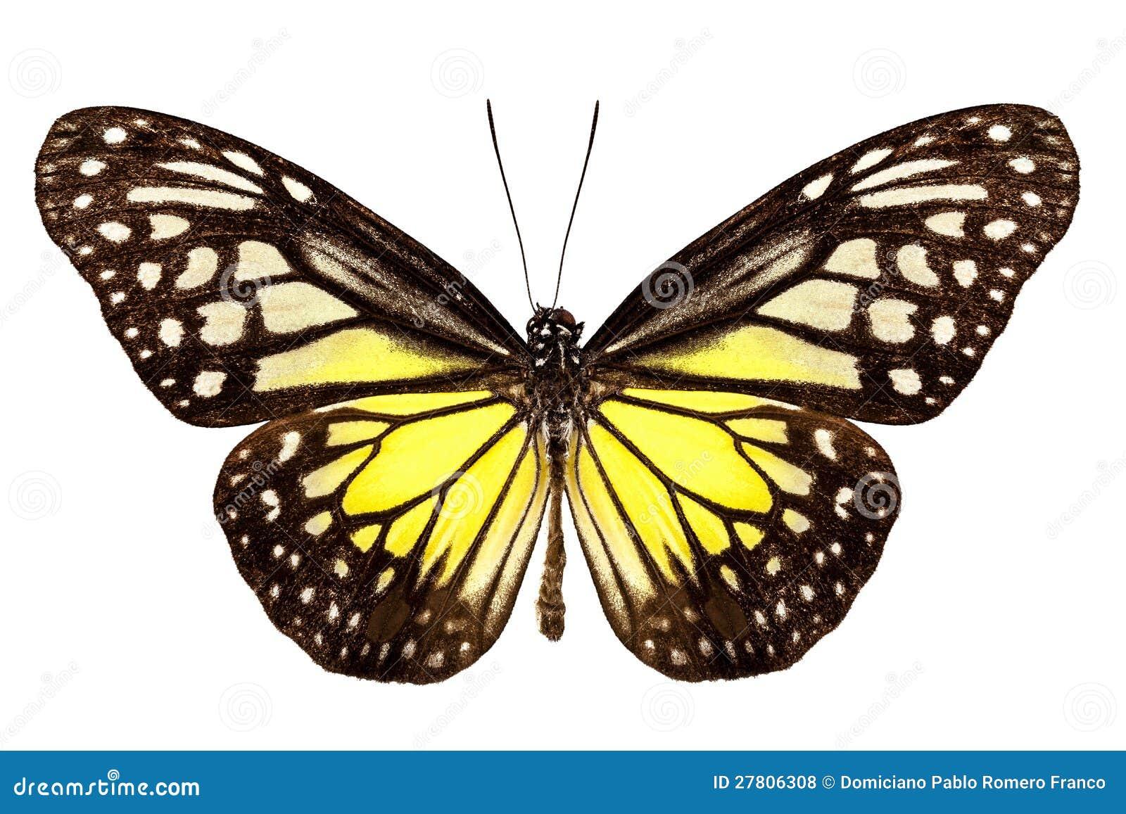 Aspasia di Parantica di specie della farfalla