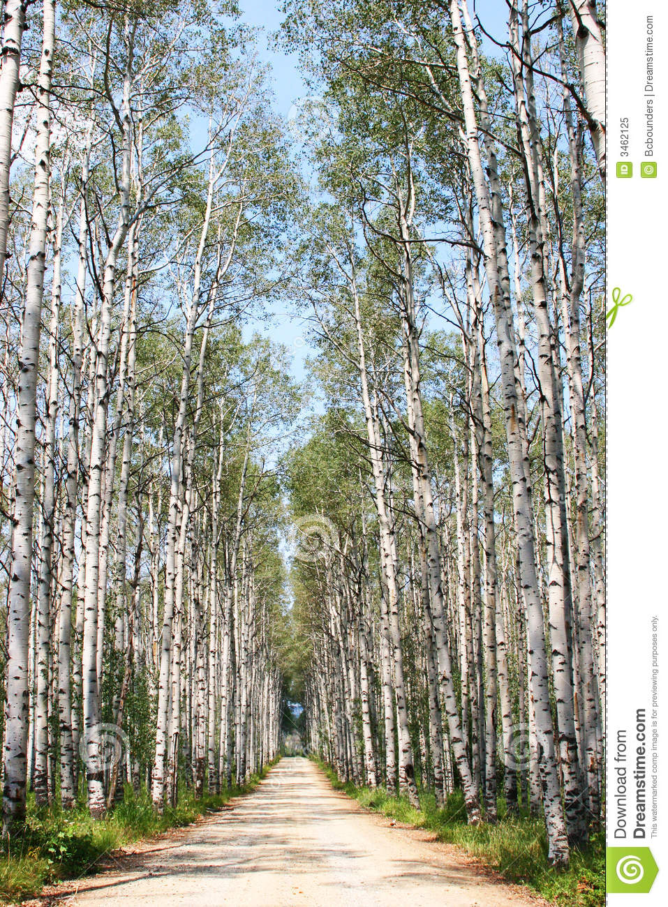 Download Aspen Alley stock image. Image of roads, aspens, lane - 3462125