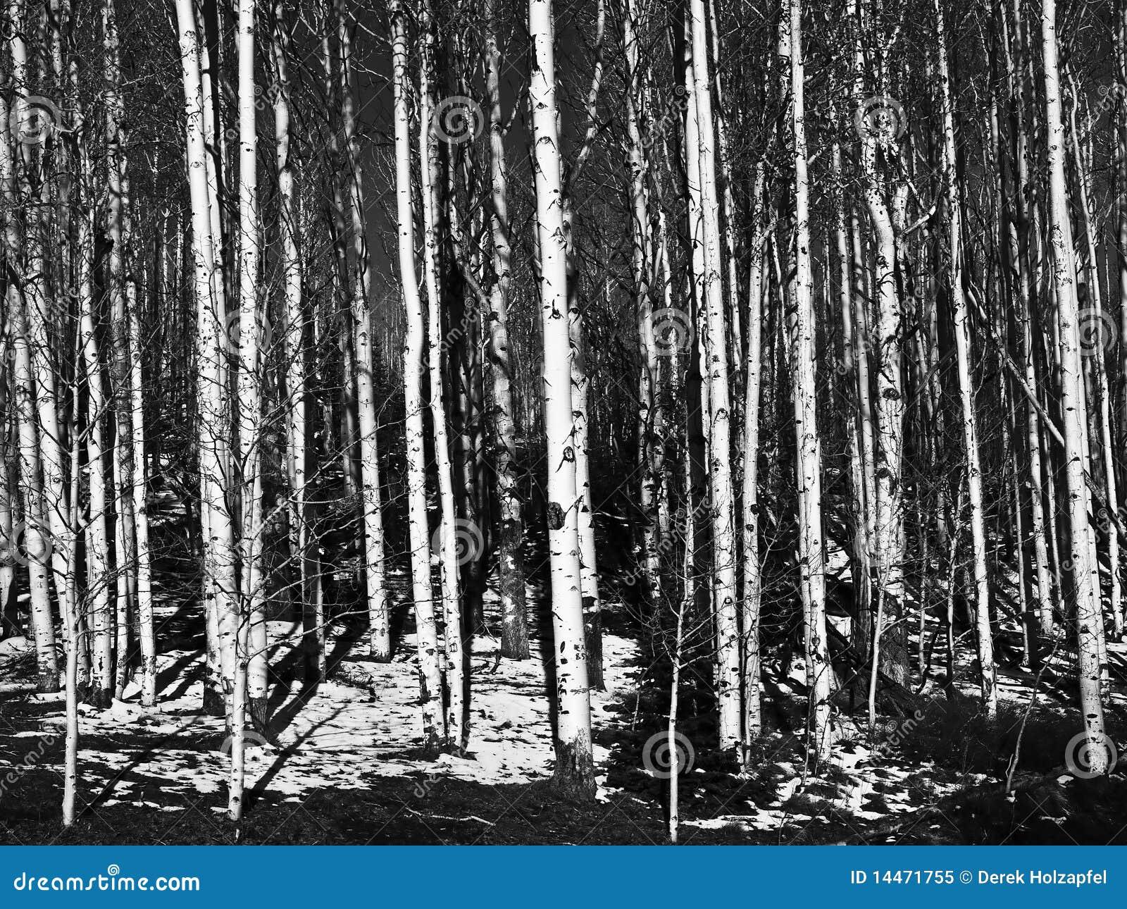 Aspen-Baum-Kabel in Schwarzweiss