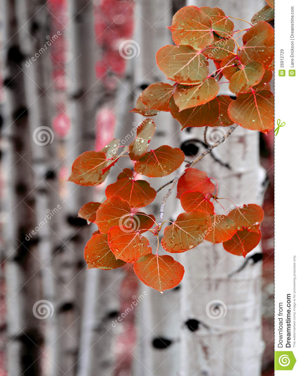 Aspen Birch Trees In Fall Royalty Free Stock Images - Image: 26912729