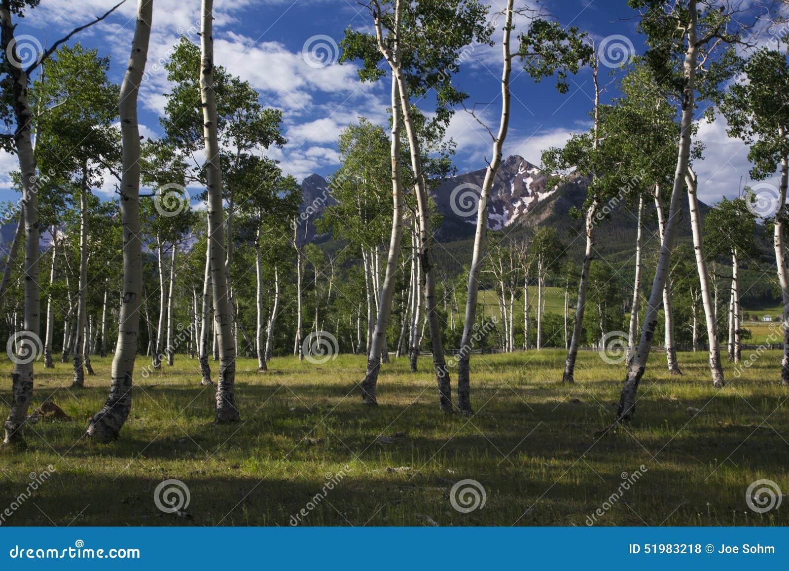 Aspen Grove och sikt av San Juan Mountains, Hastings Mesa, Ridgway, Colorado, USA