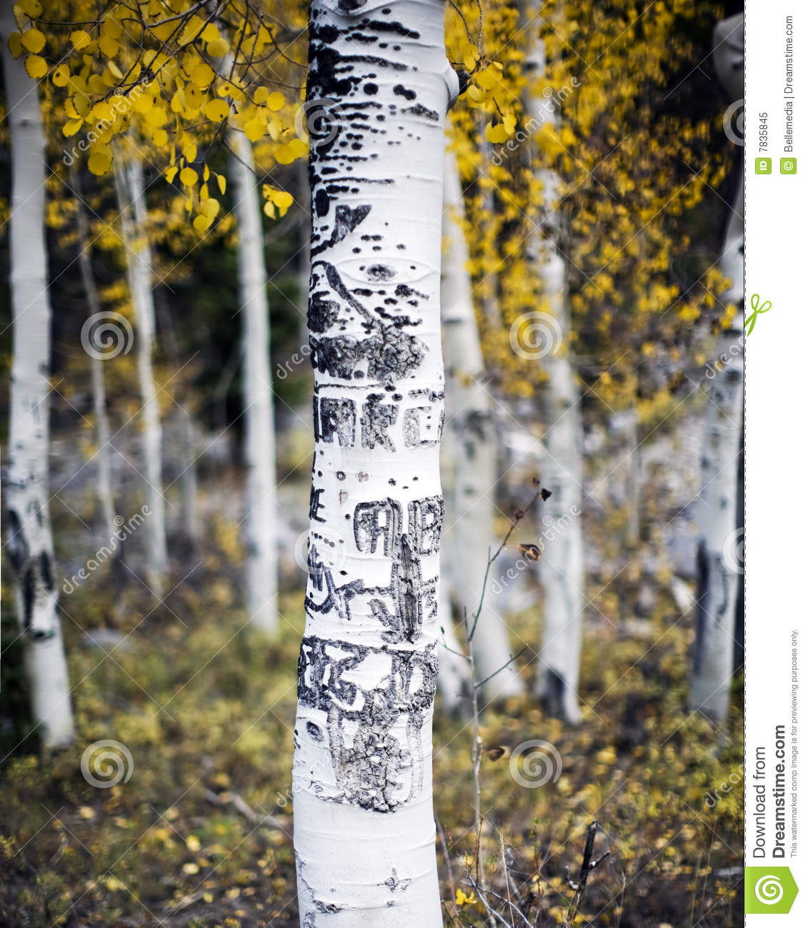 Aspen tree with carvings royalty free stock photo image