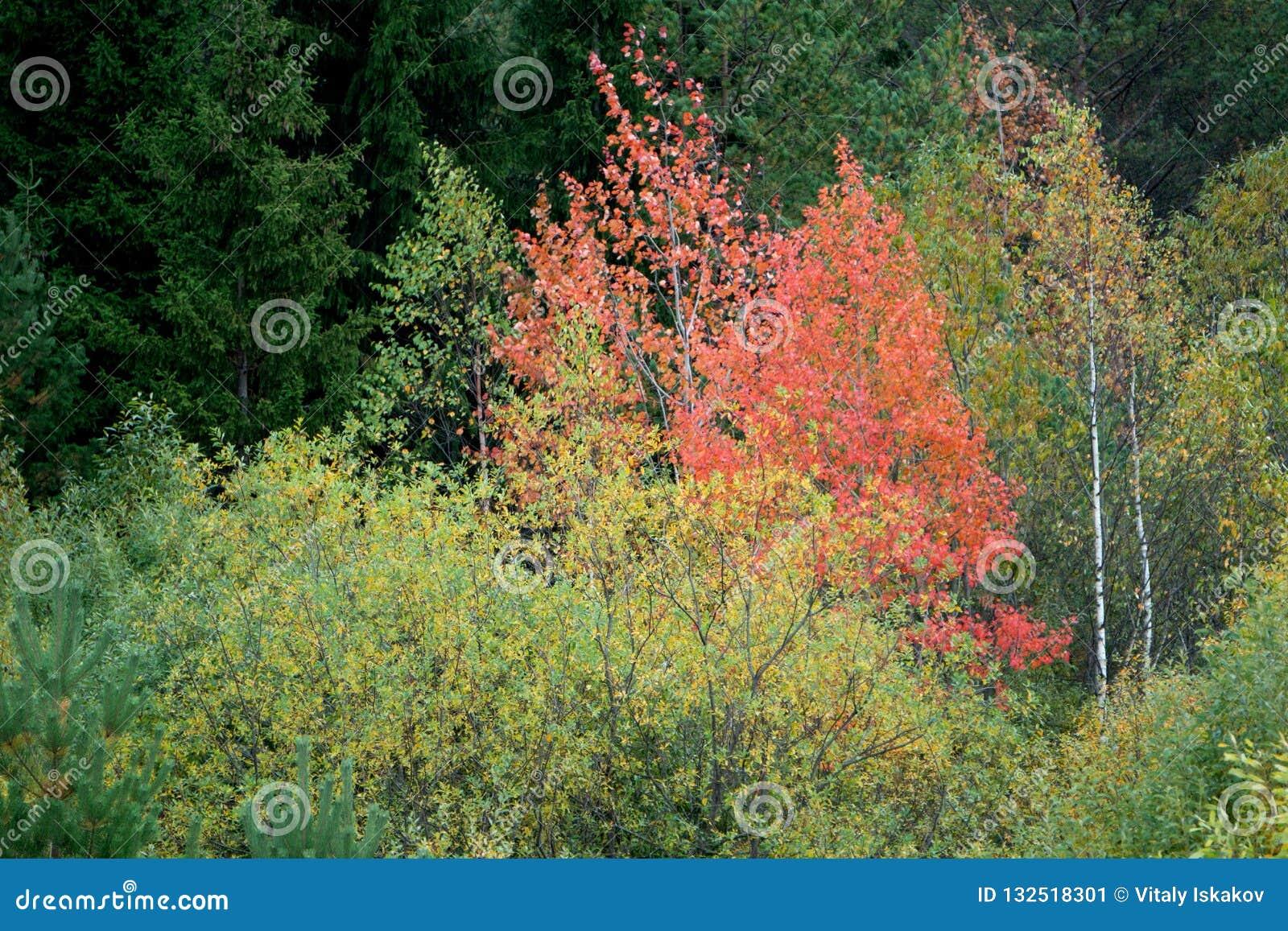 Aspen Tree Getting Ready om kleur te draaien