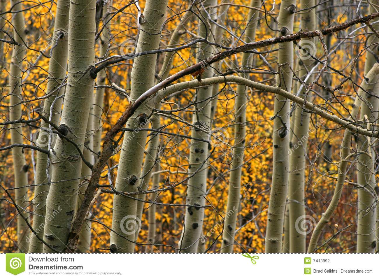 Download Aspen trees stock photo. Image of quaking, detail, aspen - 7418992