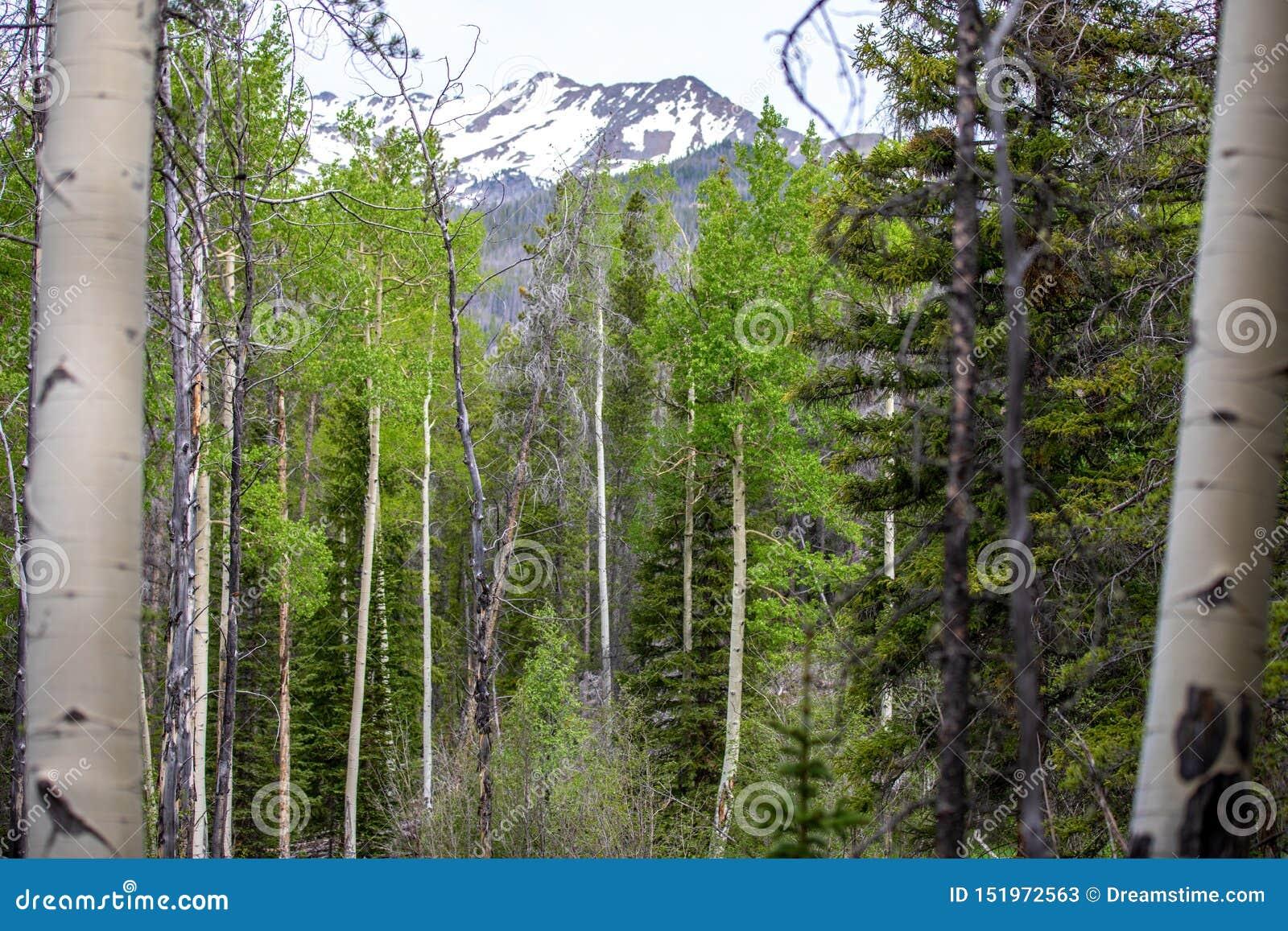 Aspen Trees Framing eine Snowy-Bergspitze in Rocky Mountain National Park