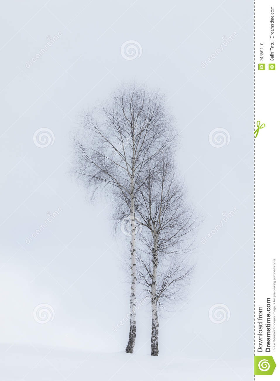 Aspen Trees In Winter Stock Photo Image 24859110