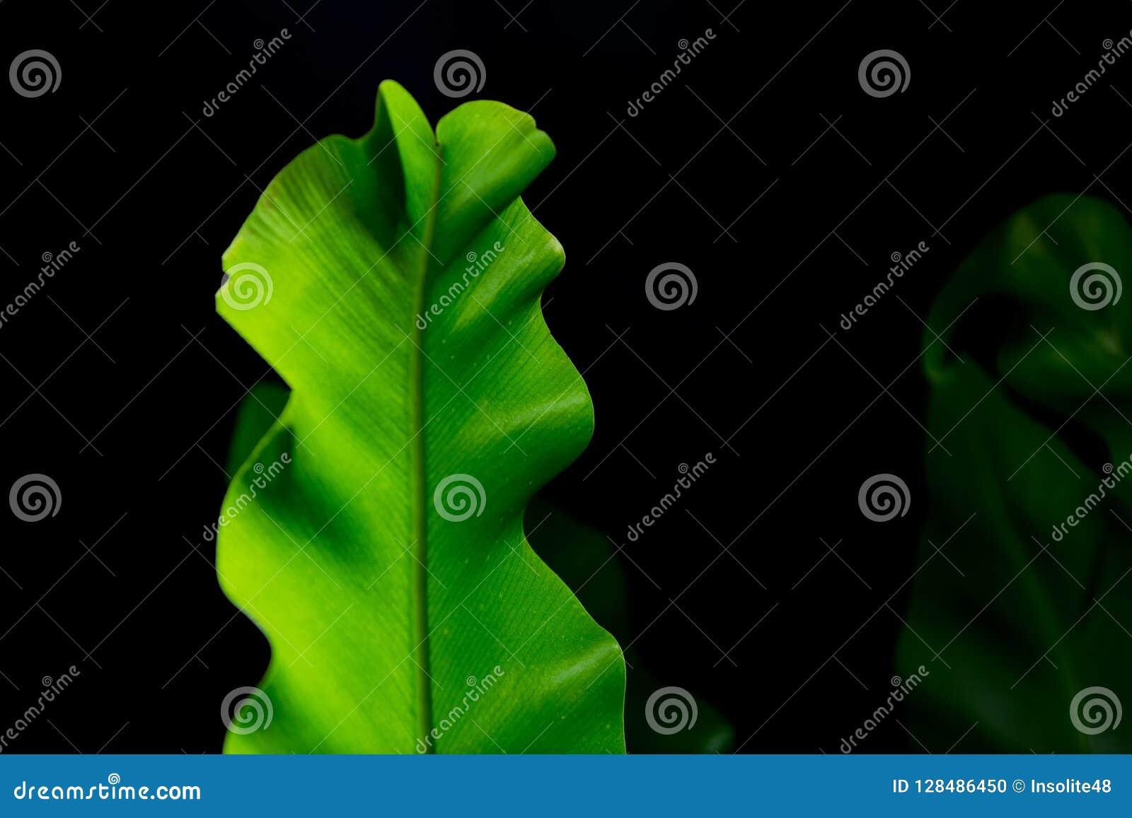 Asplenium mit hell reichen grünen Blättern auf dunklem Hintergrund Lang breite Blätter
