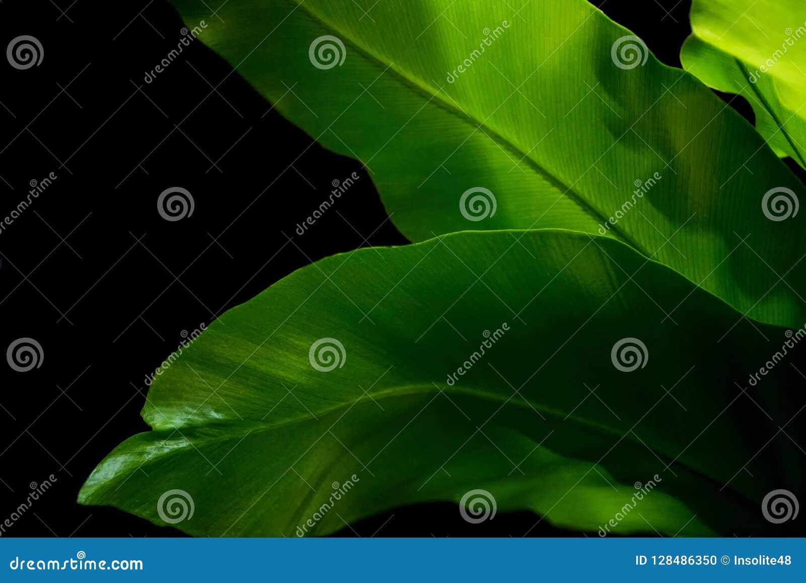 Asplenium mit hell reichen grünen Blättern auf einem dunklen Hintergrund Lang breite Blätter