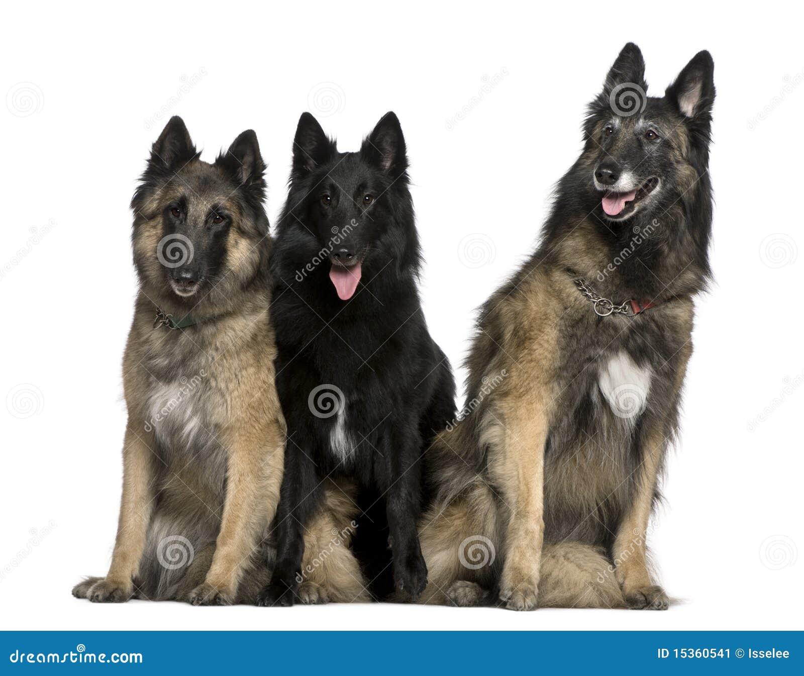 Assento belga dos cães de pastor