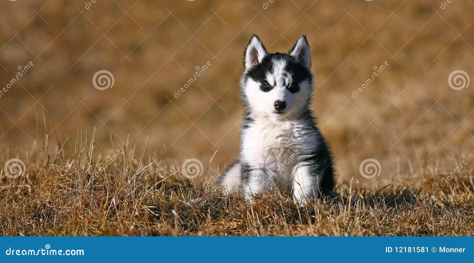Assento bonito do cão de filhote de cachorro