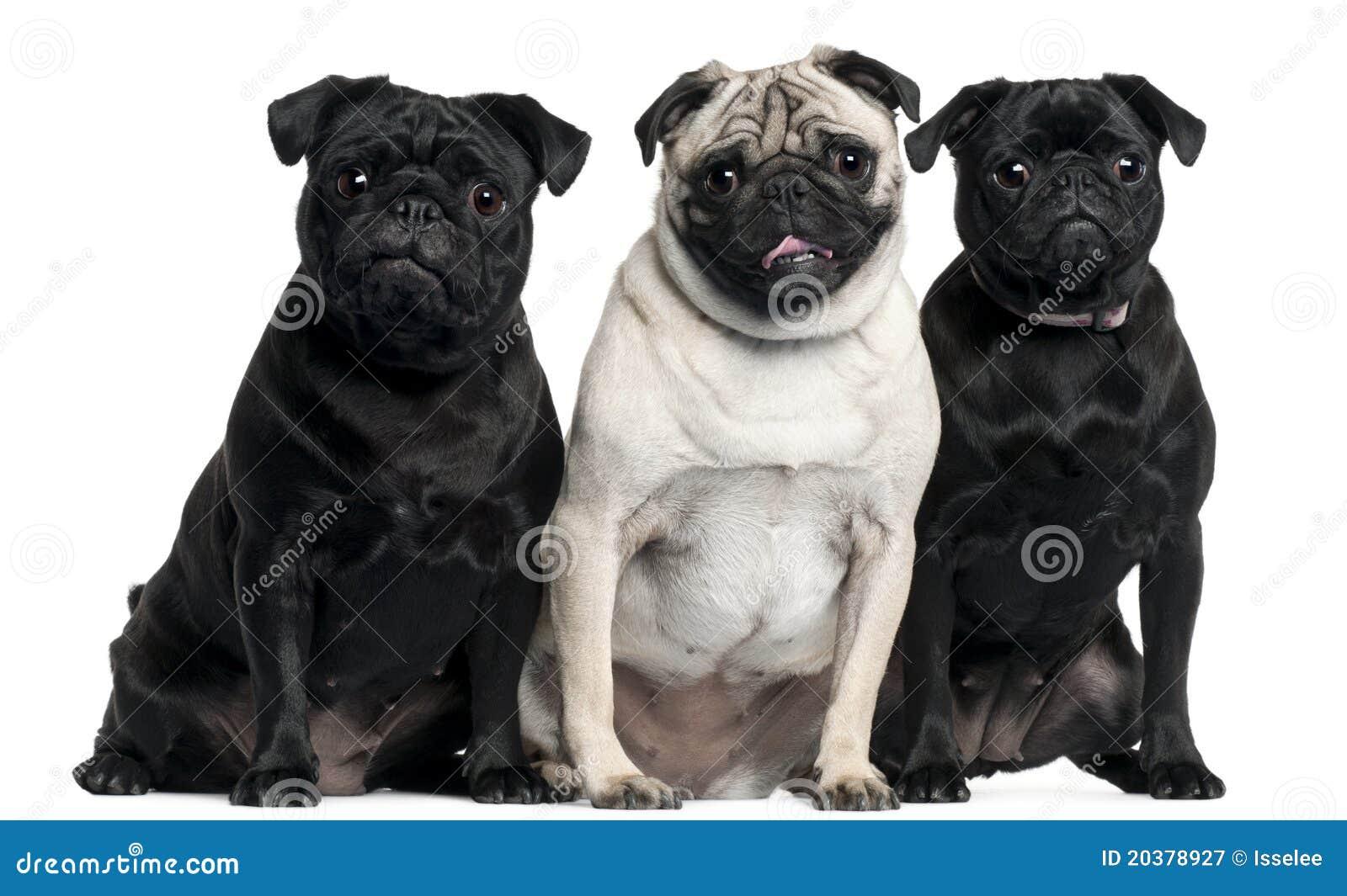 Assento de três Pugs