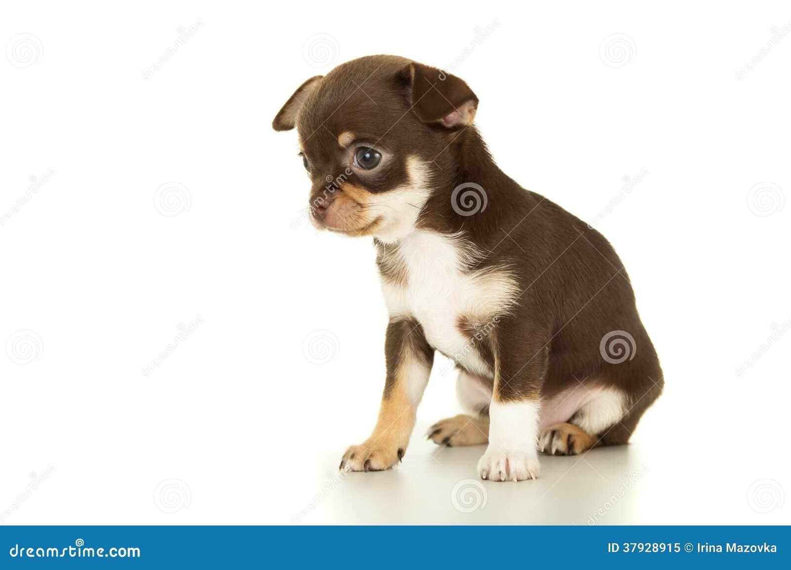 Assento marrom bonito do cachorrinho da chihuahua
