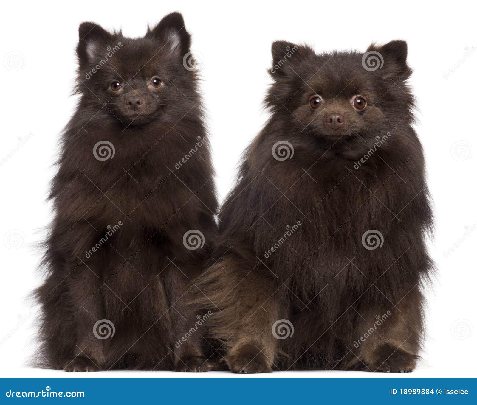 Assento marrom de dois cães