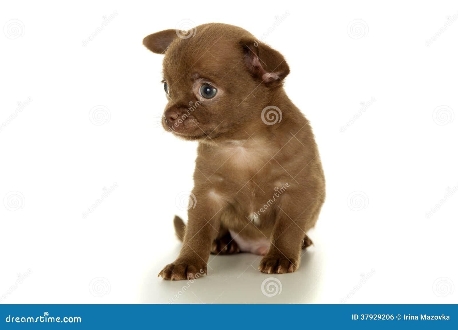 Assento marrom pequeno bonito do cachorrinho da chihuahua