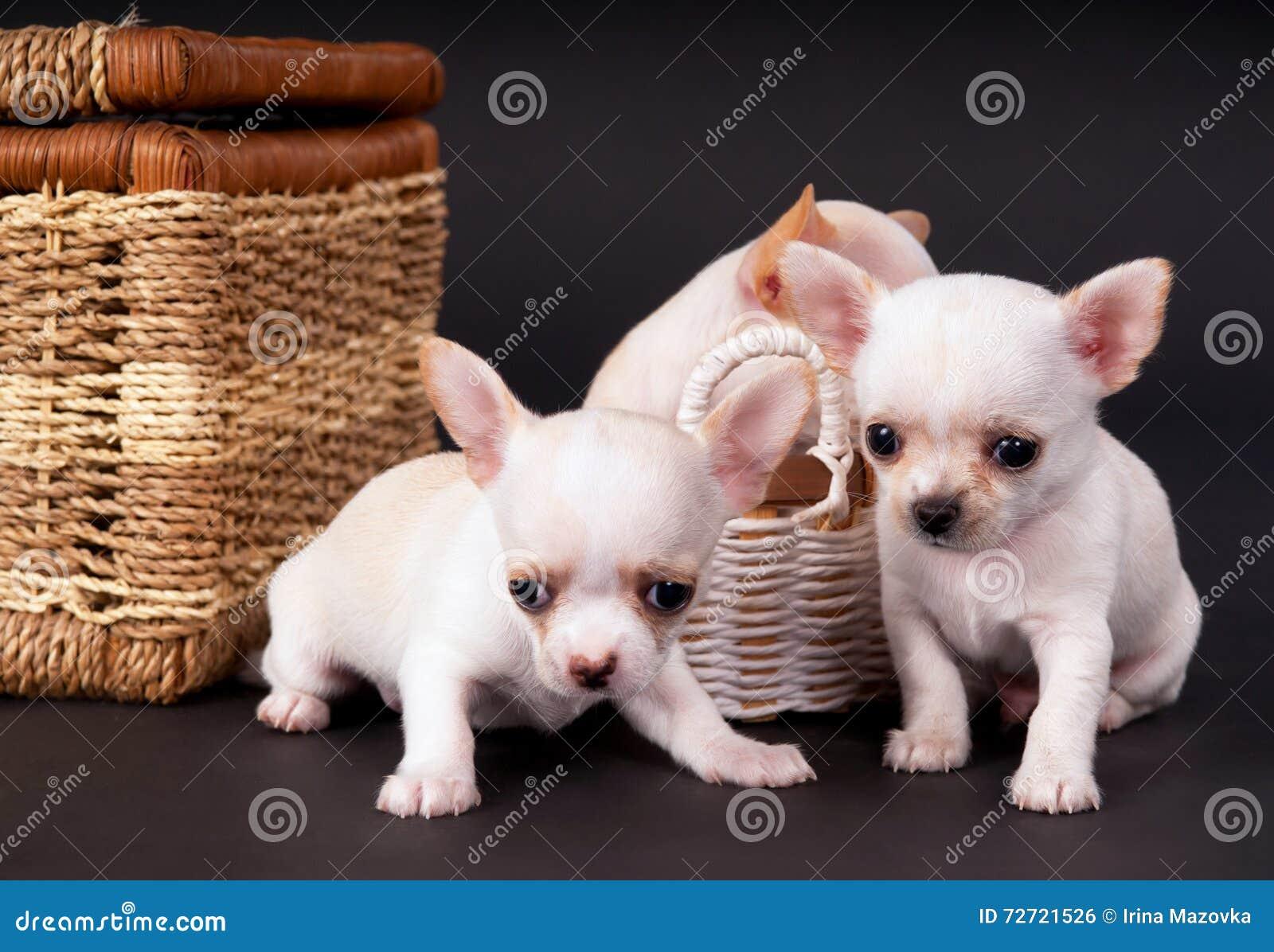 Assento pequeno dos puppys da chihuahua dos beautifuls brancos