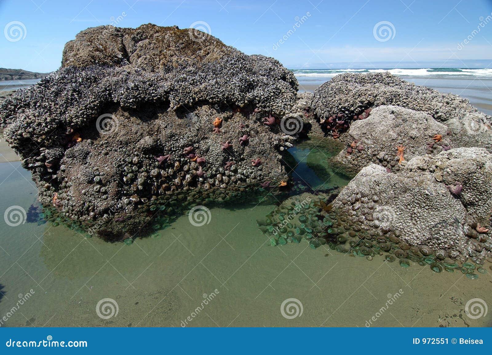 Associação da maré com Anemones de mar
