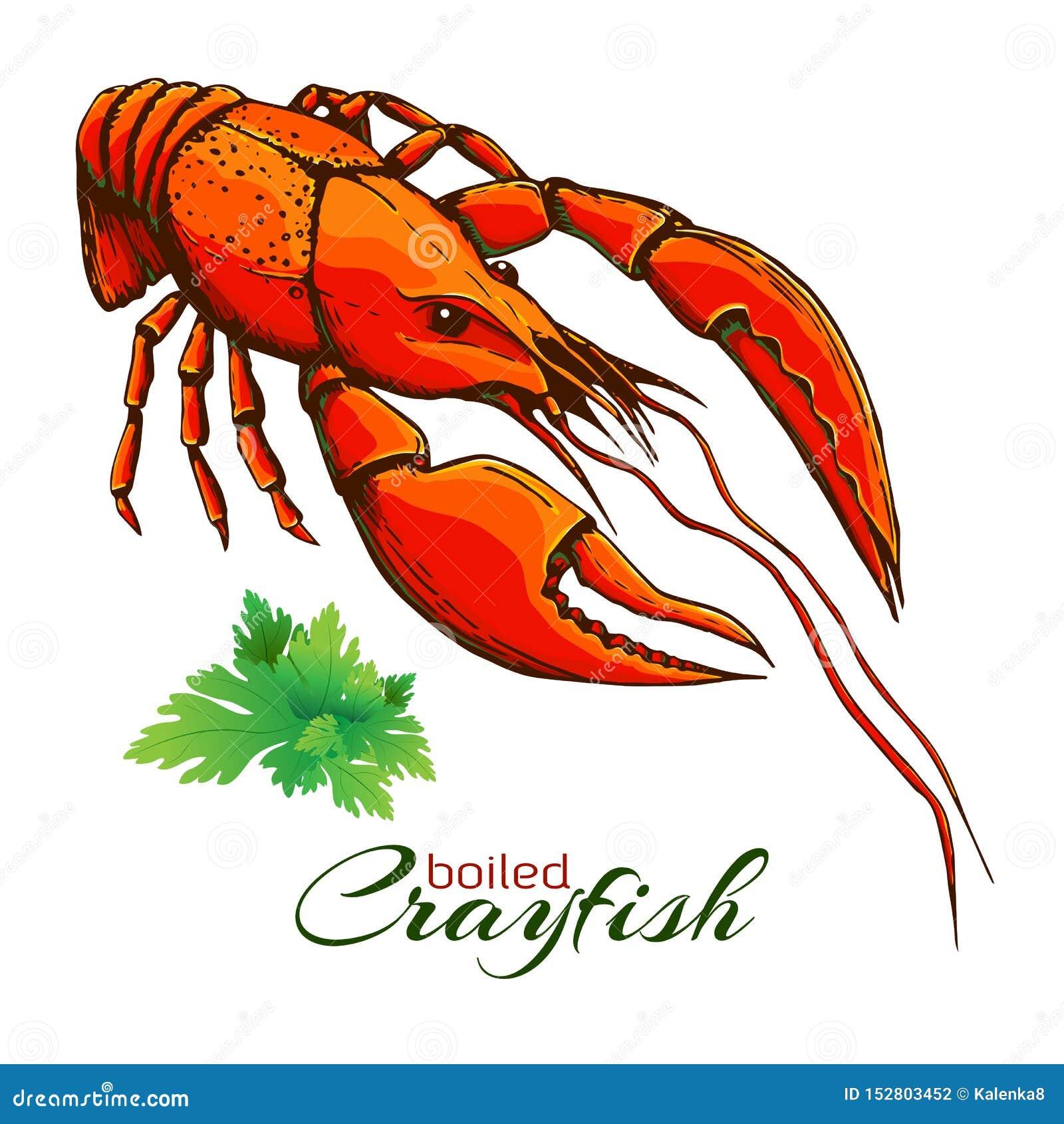 Astaci bolliti rossi Un aragosta bollita con il mazzo di prezzemolo isolato su bianco Illustrazione d annata di vettore disegnato