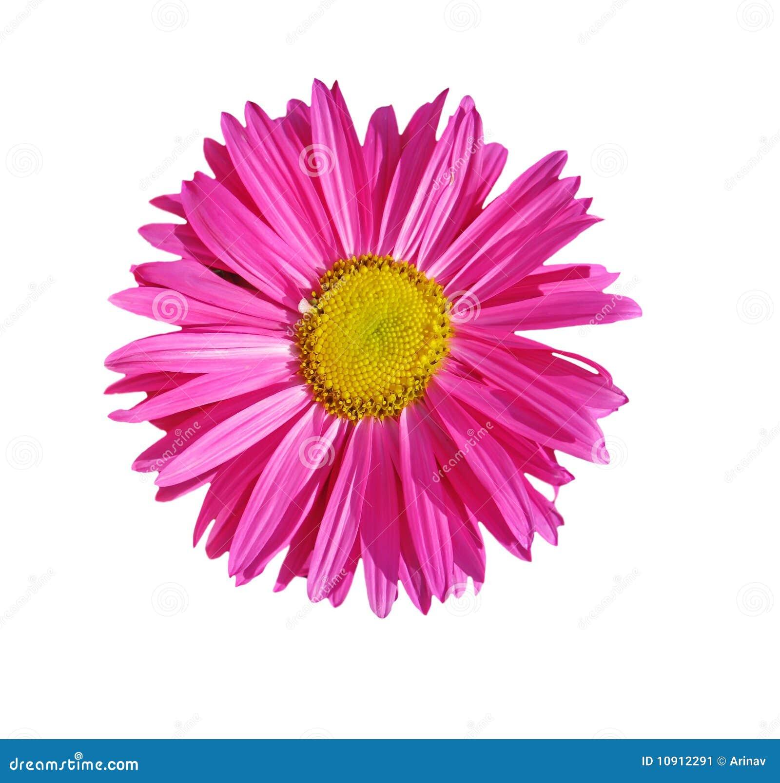 Aster immagine stock immagine 10912291 - Aster pianta ...