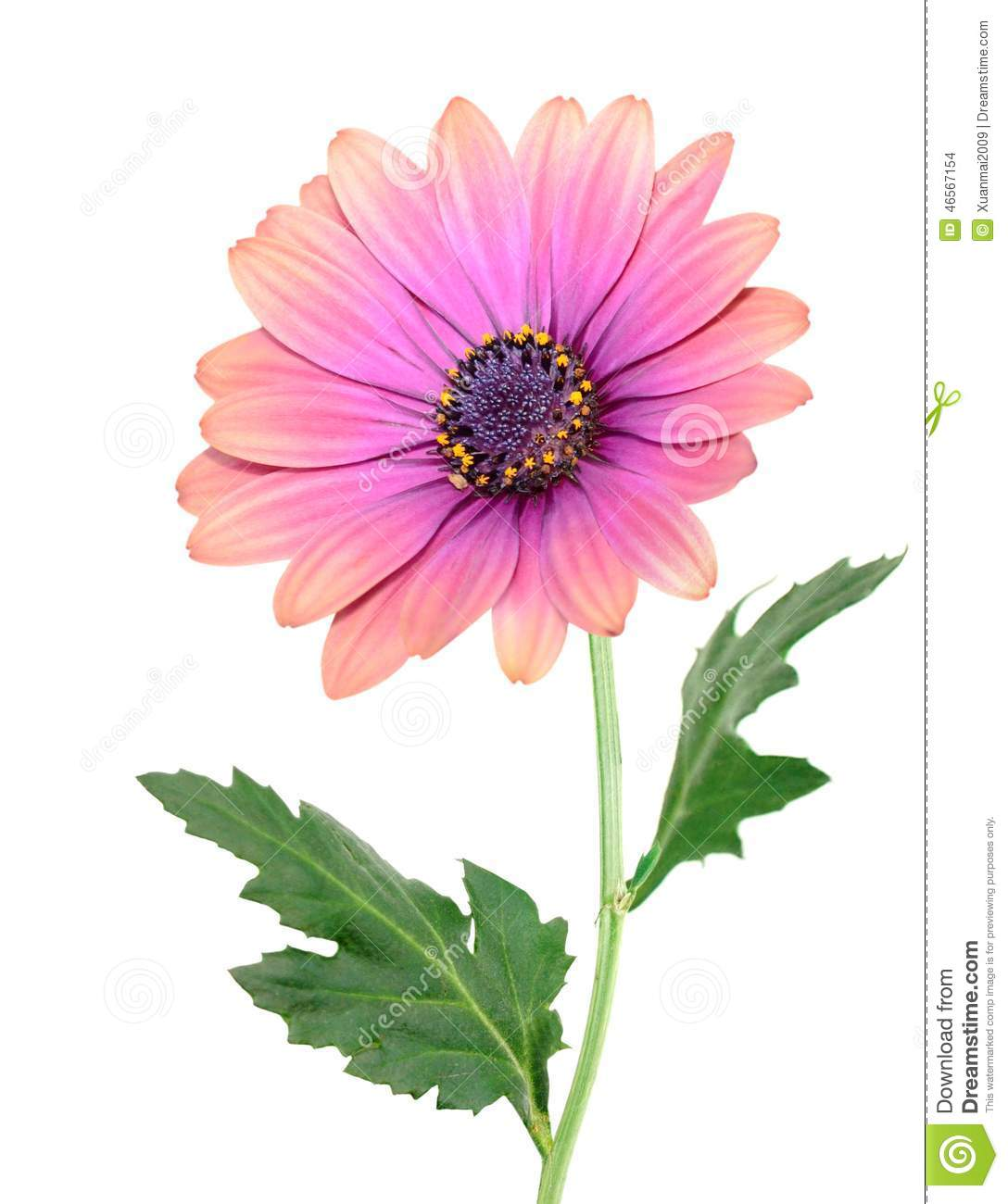 A aster daisy flower stock photo image of open elegant 46567154 a aster daisy flower izmirmasajfo Image collections