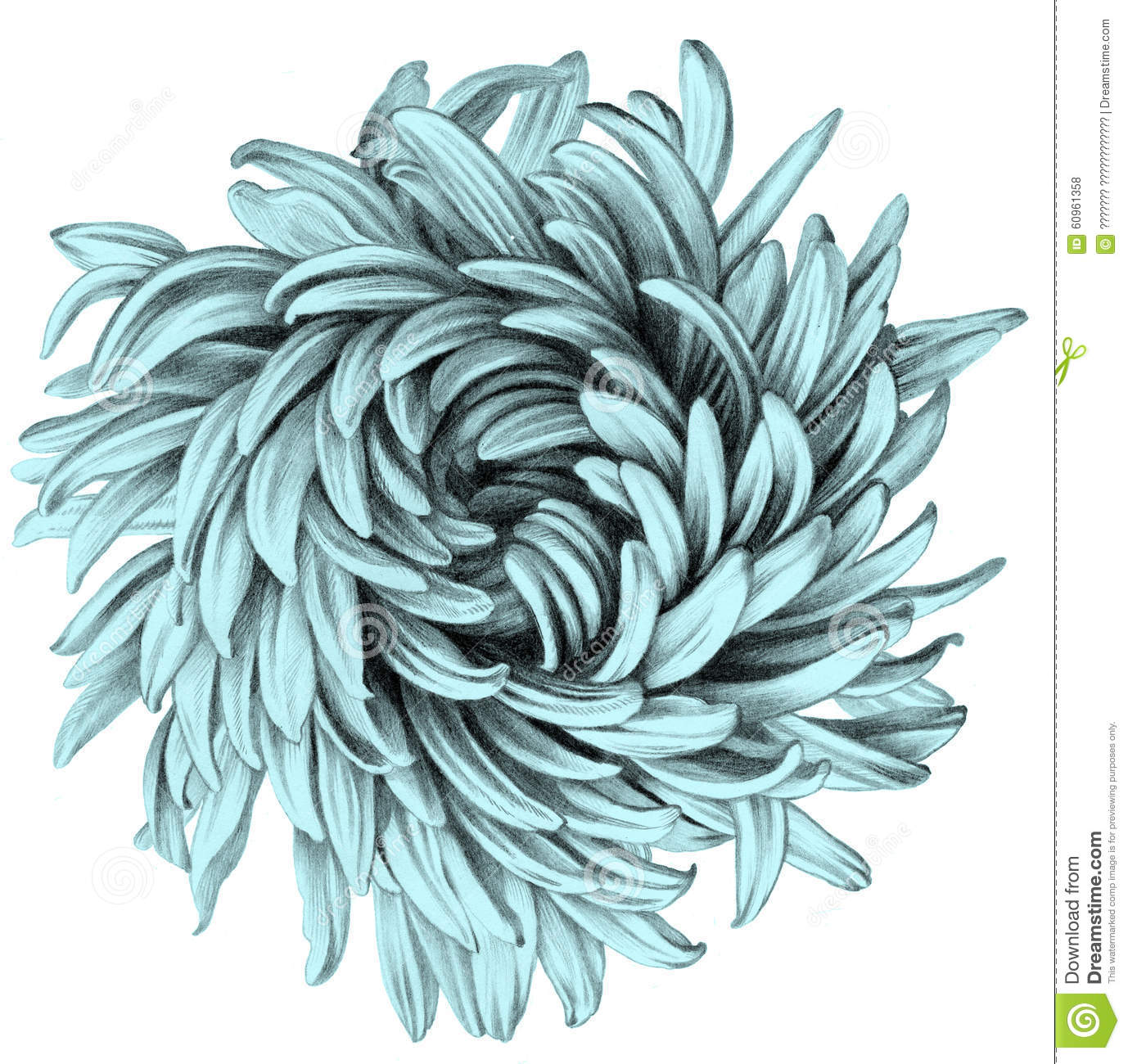 Aster Flower Line Drawing : Aster dessin au crayon illustration stock image