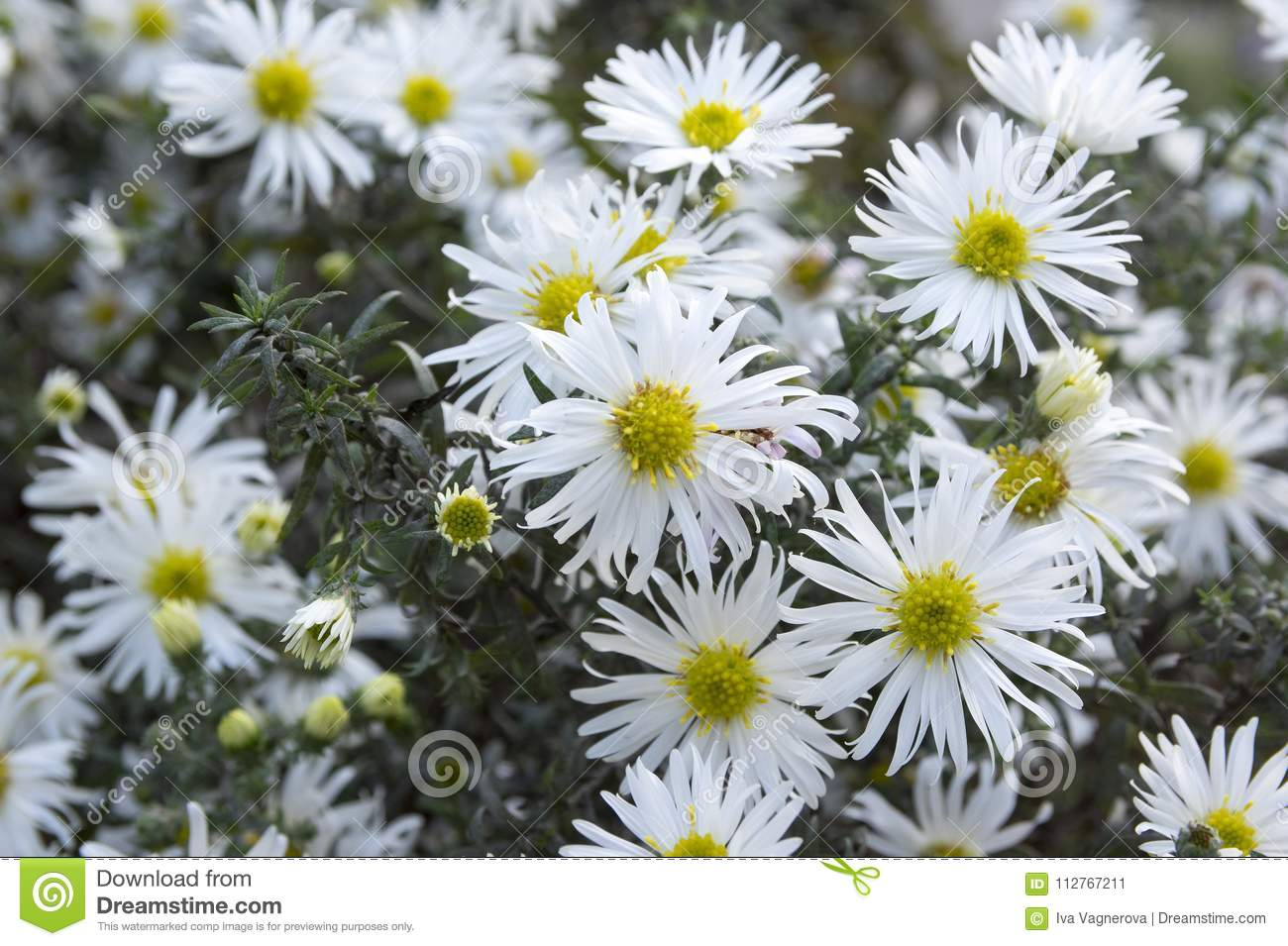 Aster Ericoides Blooming Autumn White Aster Flower With White Petals