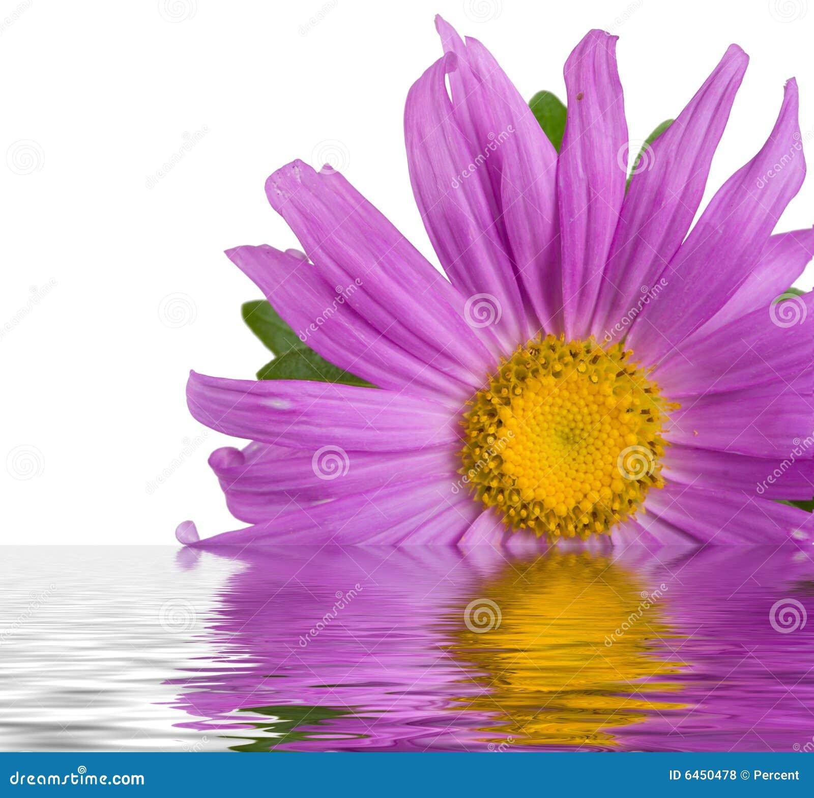 Aster fioletowego wody
