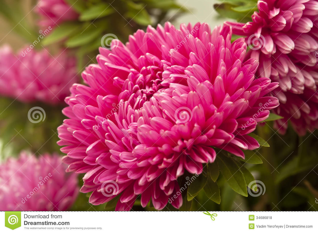 aster flower royalty free stock photos  image, Natural flower