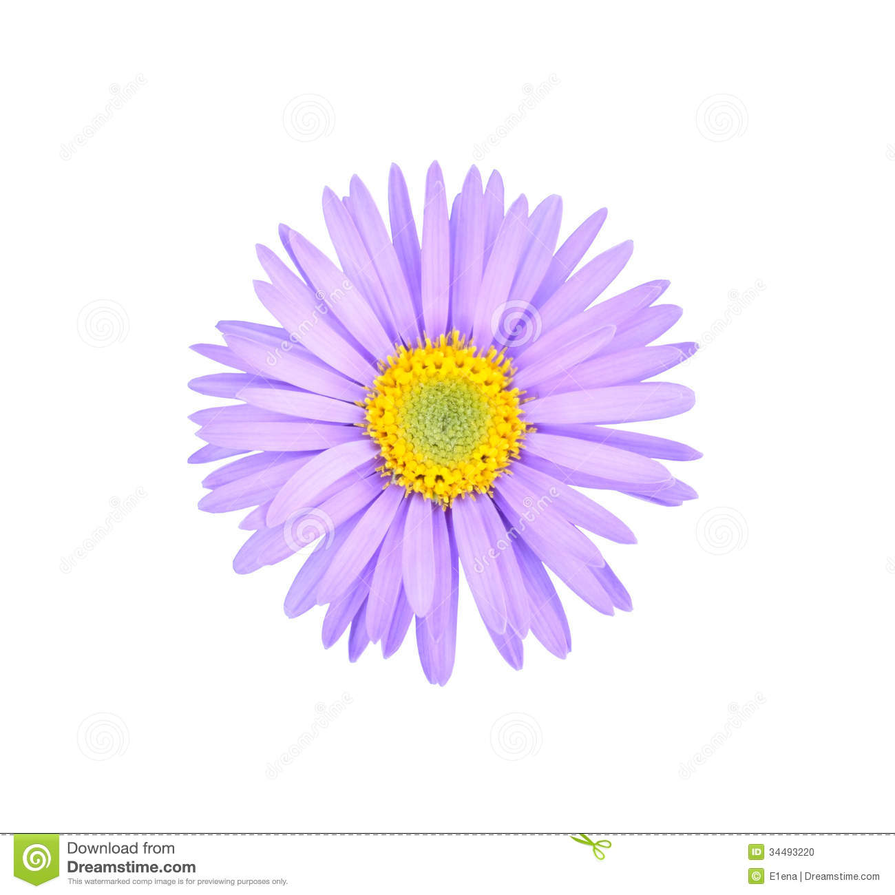 aster flower stock photo  image, Beautiful flower