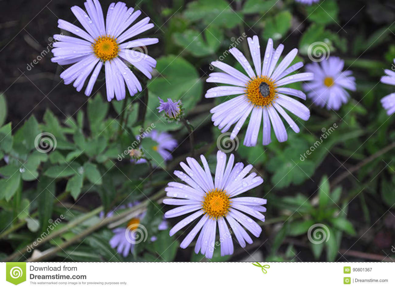 Aster flower meaning stock image image of arent names 90801367 asters are a popular daisy like flower that have grown wild since ancient times many people are surprised to learn that the aromatic aster symphyotrichum izmirmasajfo