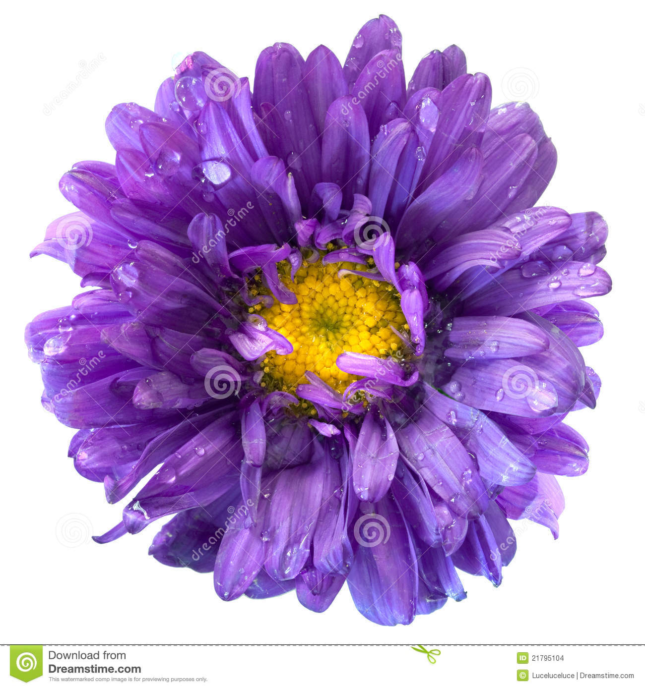 Aster Flower After The Rain Isolated Stock Image