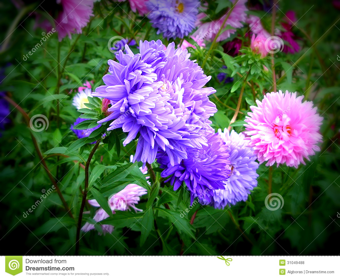 Aster Stock Photo Image Of White Arrangement Background 31049488