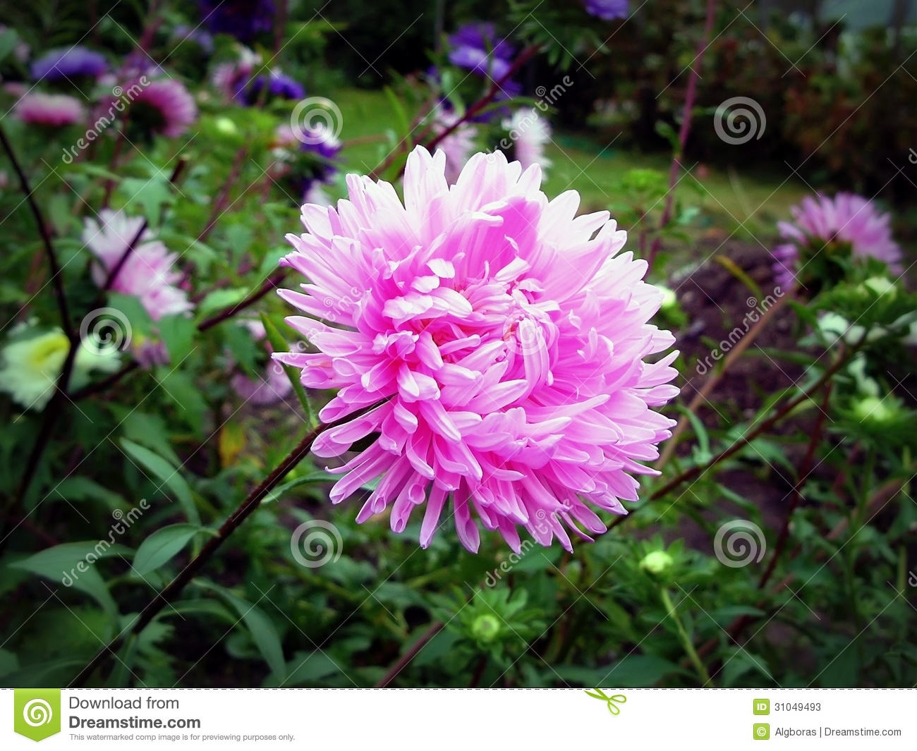 aster stock photos  image, Natural flower