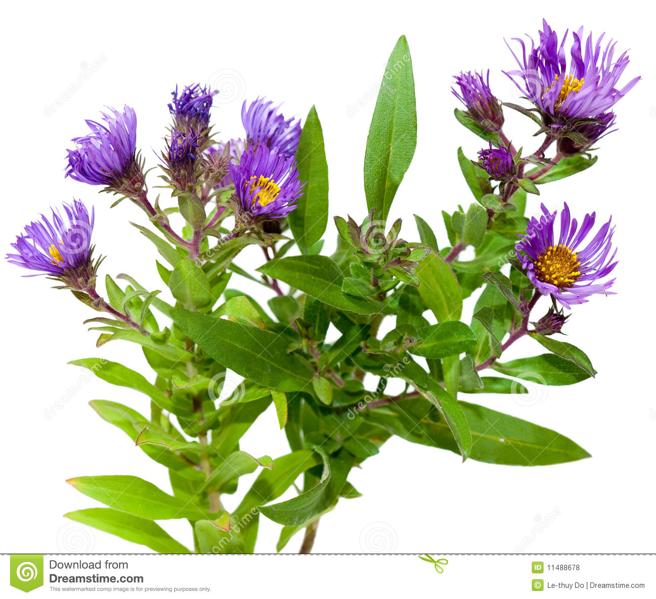 Aster Plants Stock Photo Image Of Perennial